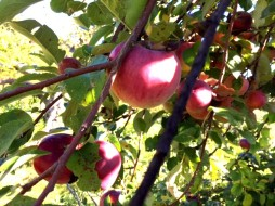 APPLE PICKING 1