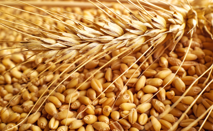 old-wheat-vs-new-wheat