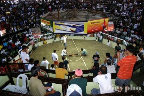 Cock_Fight_Arina_Davao
