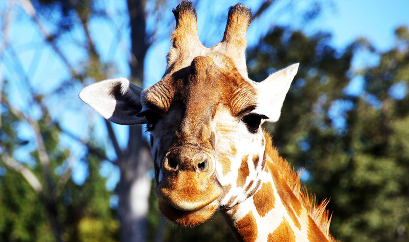 New York Becomes First State to Ban Sale of Giraffe Products